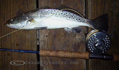 Speckled Trout on Fly Rod