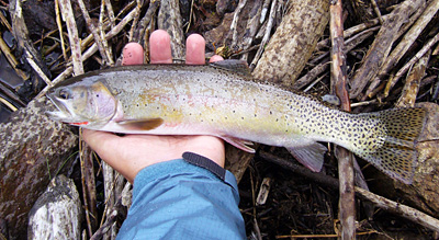 colorado trout on fly