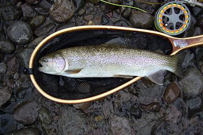 conejos river rainbow trout