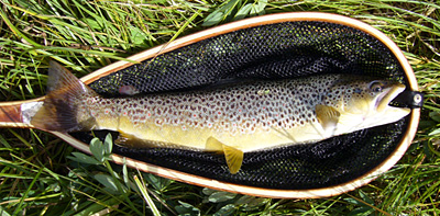 conejos river brown trout