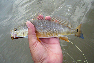 Christmas Bay redfish