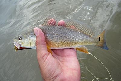 Christmas Bay redfish