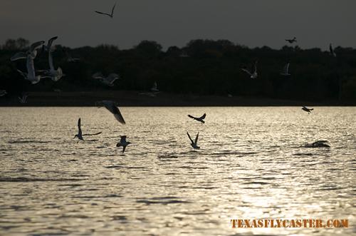 Striper blitzing under the birds on Lake Texoma, Texas.