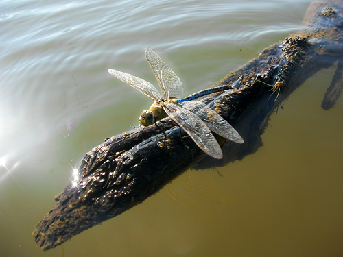 Huge dragonfly sitting on a stick.