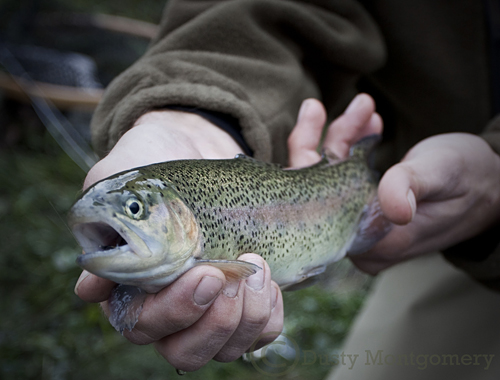 Rainbow Trout - by Dusty Montgomery