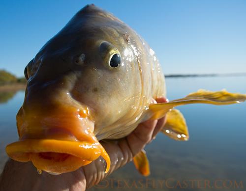 carp on the fly lake ray roberts texas