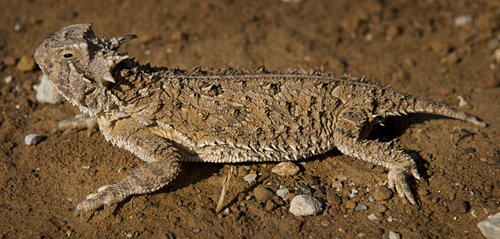 Horned Lizard not Horny Toad Not Horned Frog