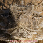 Texas Horned Lizards on the Comeback Trail