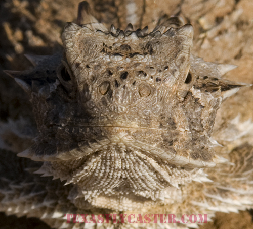 Protected Texas Horned Lizard in North Texas