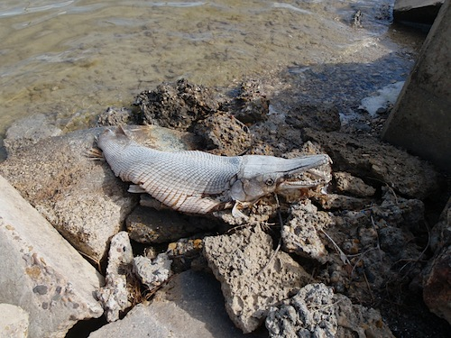 Red Tide - Courtesy Texas Parks and Wildlife Department