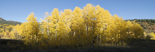 Aspen Trees north of Pagosa Springs, Colorado.