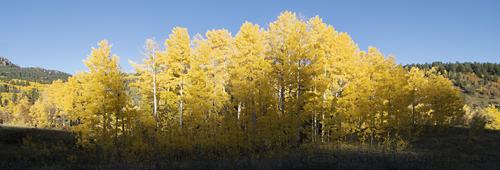Aspen Trees north of Pagosa Springs, Colorado.