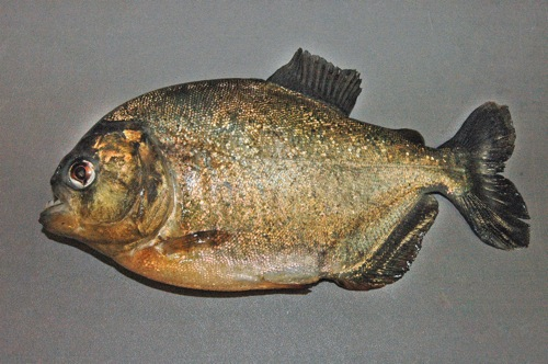 piranha caught in texas - courtesy TPWD