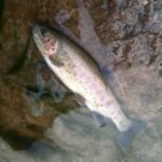 Blue River Catch and Release – On Again for 2011-2012 Season