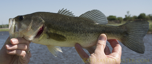 Thin largemouth bass is a sign of a problem.