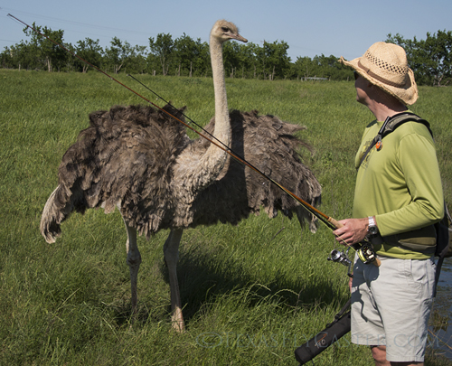 Ostriches in your backcast are only one of the possibilities in this pond fly fishing  action.