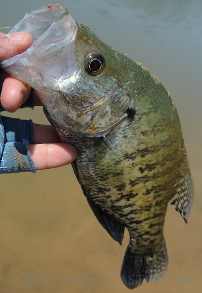 Lake Nocona Texas crappie caught on fly rod