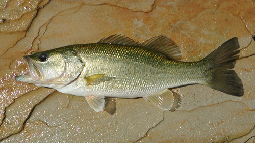 Lake Nocona Largemouth Bass in springtime