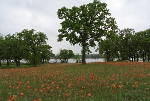 Texas indian paintbrush wildflowers near the shore of Lake Nocona