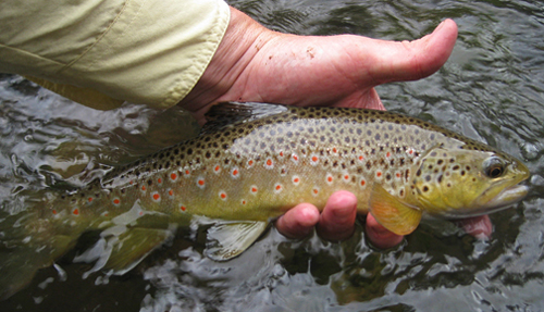 Conejos River Brown Trout - Photo Courtesy Clint Keating