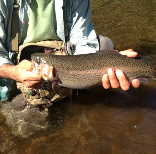 Beavers Bend rainbow trout 2012 - Courtesy James Koukl