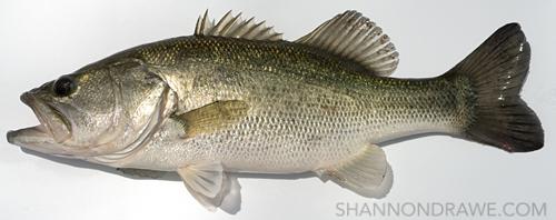 largemouth bass lake ray roberts on fly