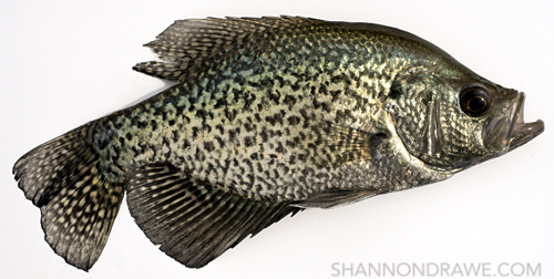 lake ray roberts crappie