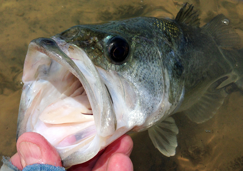 ray roberts largemouth bass on fly rod