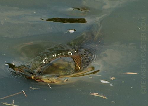 brays bayou grass carp eating topwater