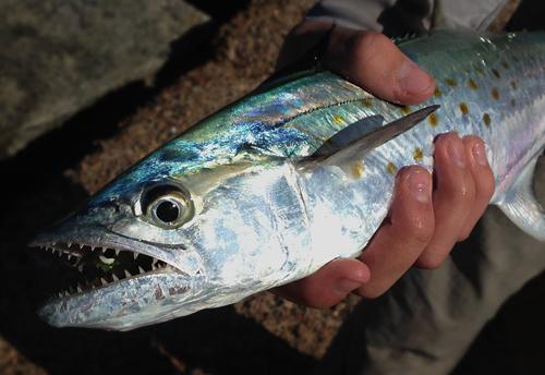Port Aransas spanish mackerel - photo Courtesy FWFF