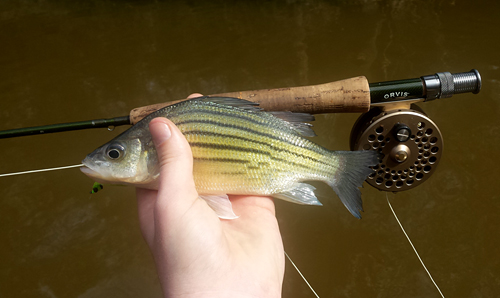 Yellow bass from Houston Fly Fishing