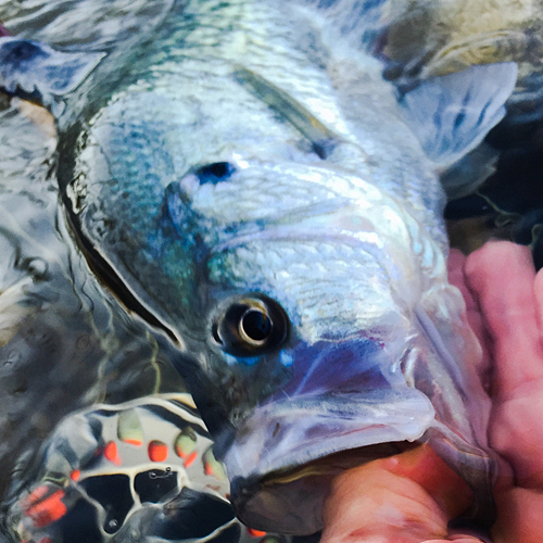 crappie on fly rod texas