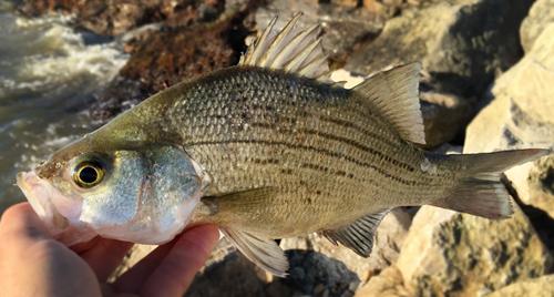 Texas sand bass on fly