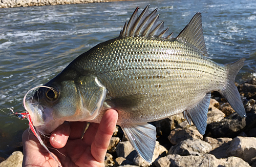 fly fishing for Sand Bass on Fly February 2016