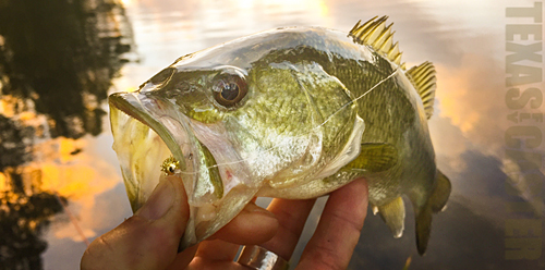 Bass on Fly Pond Bass Houston fly fishing