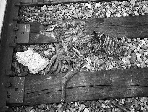 Pitbull Along the Tracks