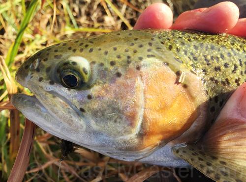 Rainbow trout blue river oklahoma