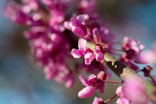 Denton Redbud Tree Flowers