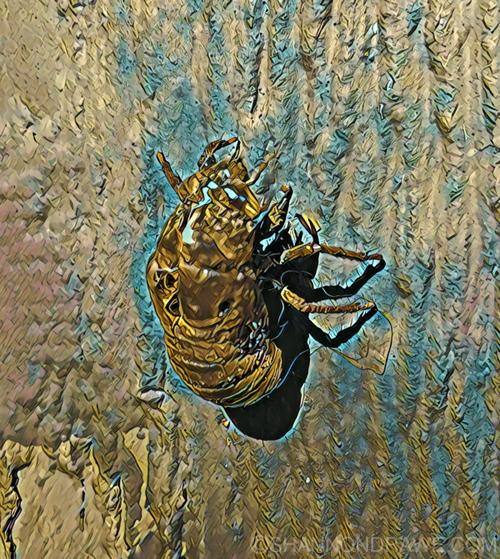 Cicada Texas Bug Entomology